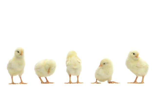 Group of chicks standing, chirping and falling asleep video
