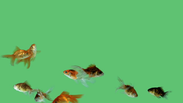 Group of colorful goldfish on green screen background. video