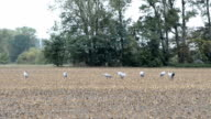 Group of Crane birds during autumn migration on corn field resting. rainy weather. (Brandenburg, Germany) video