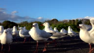 CLOSE UP: Group of cute seagulls on the road fighting over food video