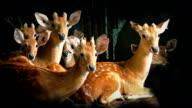 Group Of Deer Look Up video