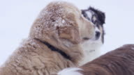 Group of Dogs in the Snow video