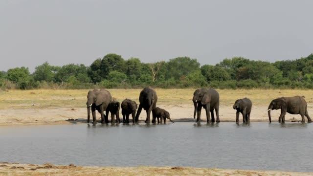 Group of Elephants at waterhole, Hwange, Africa safari wildlife video