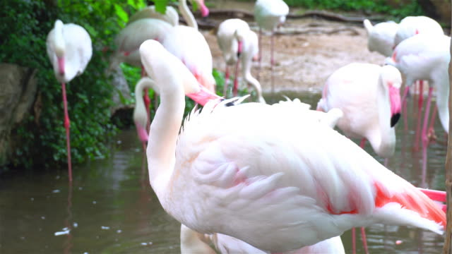 Group of Flamingos video