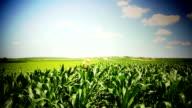 Group of friends running through corn fields. video