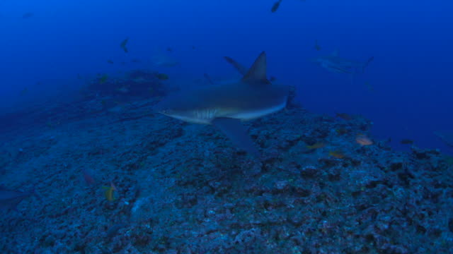Group of Galapagos Shark cruising in coral reef video