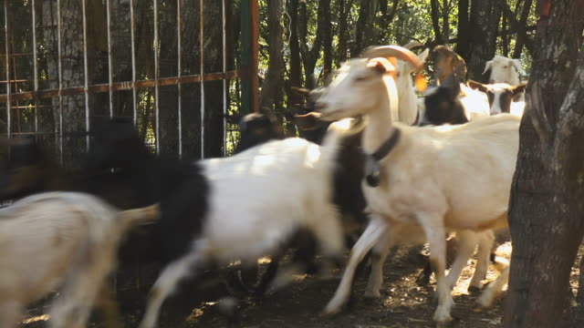 Group of goats in animal pen at farm video