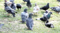 group of gray and white pigeon video