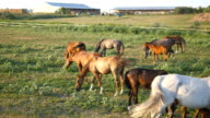 Group of horses grazing on the meadow. Horses is walking and eating green grass in the field. Close up video