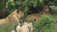 Group of lions living in the forest video