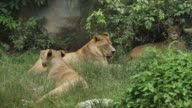 Group of lions living video