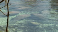Group of manatees warming up in a spring video