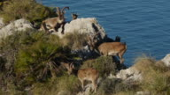 Group of mountain goats video