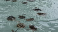 Group of newborn turtle in the water. video
