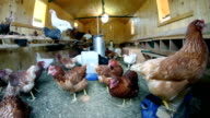 HD: Group of old chickens in their hut video
