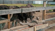 Group of ostriches eat from the trough on an ostrich farm video