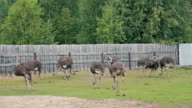 Group of ostriches on an ostrich farm video