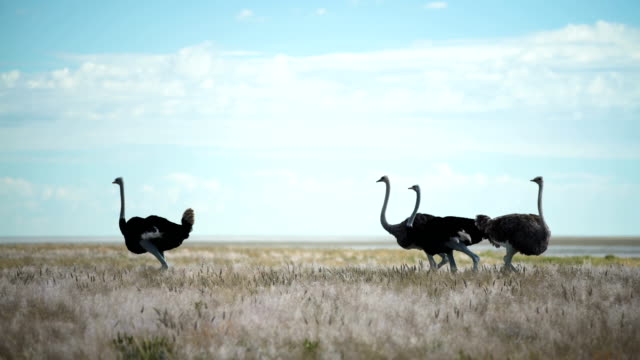 Group of ostriches walking on savannah grasses video