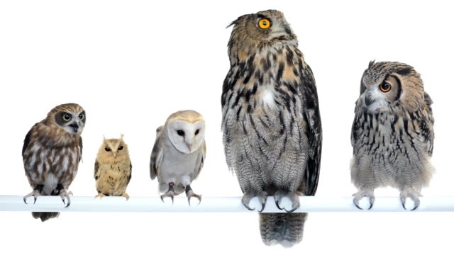 Group of Owls perched and looking around video