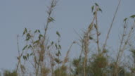 Group of parrots flying reaching the tip of the branches of an old tree no leaves in winter video