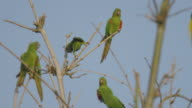Group of parrots standing on the tip of the branches of an old tree no leaves in winter, preparing to fly, with a blue sky background video