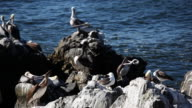 Group of Pelicans on Rock video