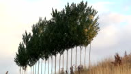 Group Of Poplar Trees In A Row On Sky video