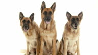 Group of purebred alsatian dogs on white background, pets video