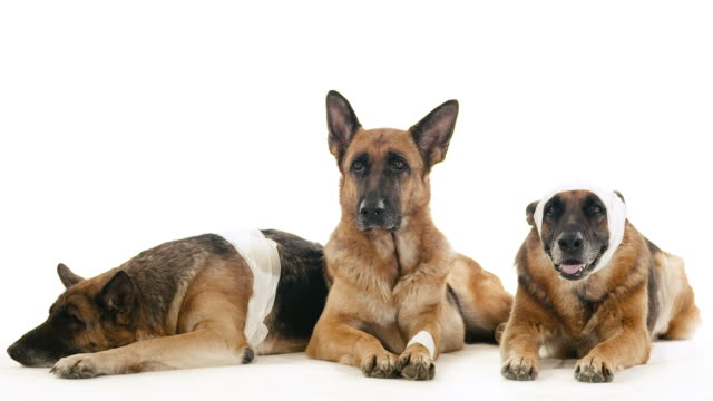 Group of purebred german shepherd dogs on white background, pets video