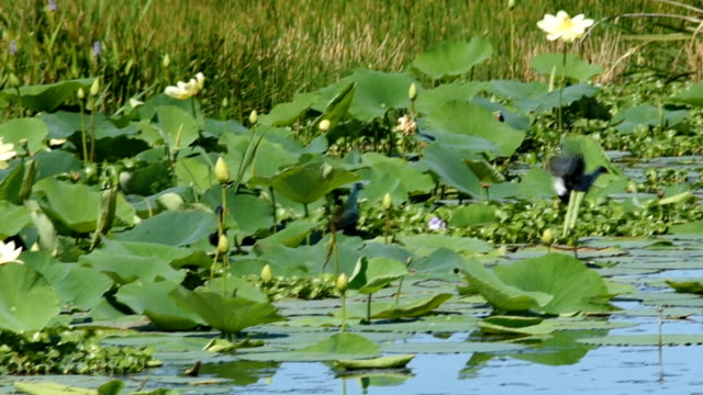 Group of Purple Gallinules chasing and fighting in wetland video