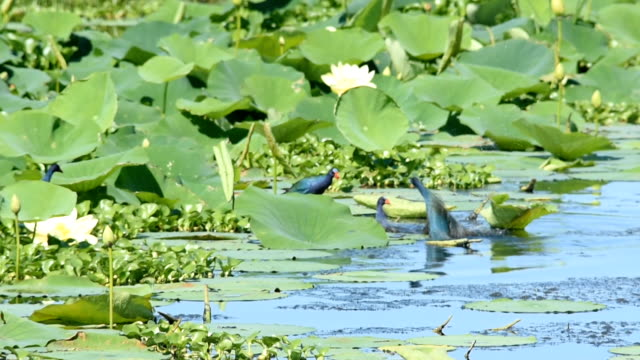 Group of Purple Gallinules fighting in American Lotus plants video