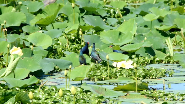 Group of Purple Gallinules fighting in wetland video