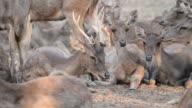 group of rusa or javan deer ( Cervus timorensis ) video