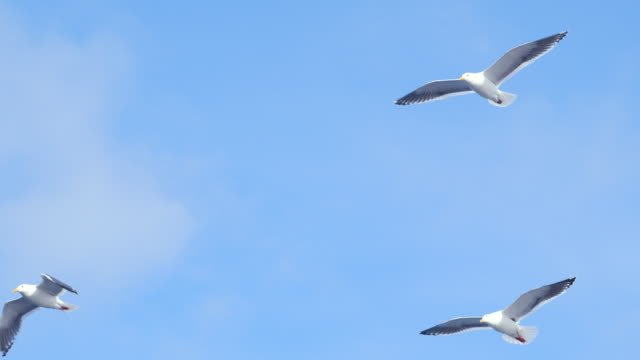 Group of Seagulls flying video
