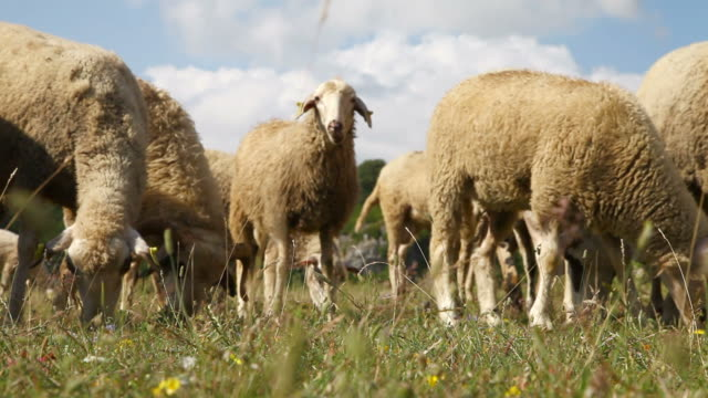 Group of sheep and rams gazing on a pasture video