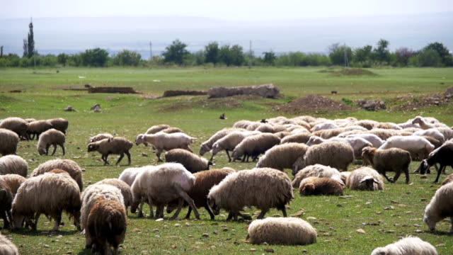Group of Sheep Grazing in the Field. Slow Motion video