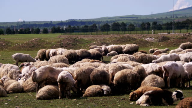 Group of Sheep Grazing in the Field video