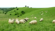 Group of sheeps grazing in the field video