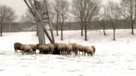 group of sheeps in snow video