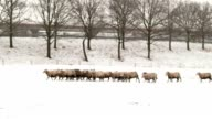 group of sheeps running in the snow video