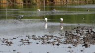 Group of spoonbill birds looking for food video