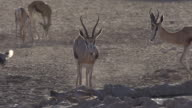 Group of springbok at waterhole video