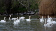 Group of Swans and Geese video
