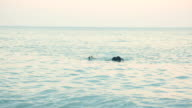 Group of three labradors retrievers swimming in the sea at sunset and playing with a toy video