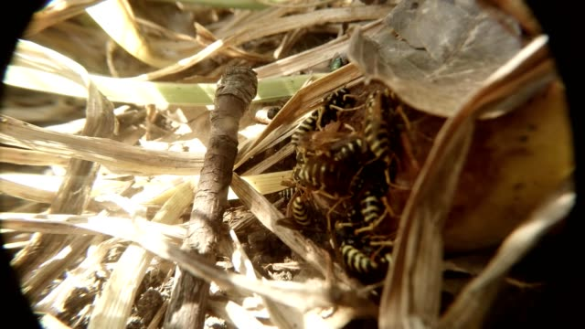 Group  of Wasp Hardly Gobble Up Rotten Pear Time Lapse Macro video