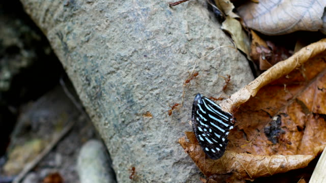 Group of Worker Ant help to carry Butterfly Wing video