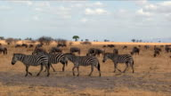 Group of zebras in Tarangire National Park / Tanzania. video