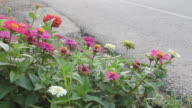 Group of zinnia. video