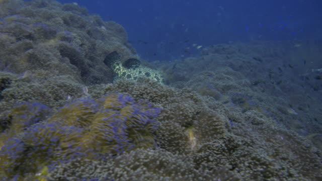 Grouper Fish video