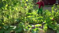 Grower cowboy man spraying pumpkin vegetables in farm. closeup. FullHD video